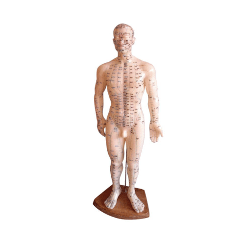 Male Meridian Model With 360 points & 14 meridians - 50 cm